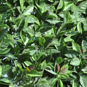 Divy 3D Plus Photinia Synthetic hedge with dense photinia leaves