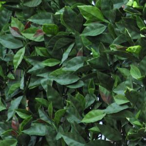 Divy 3D Panel Photinia Synthetic hedge with photinia leaves in interlocking modules