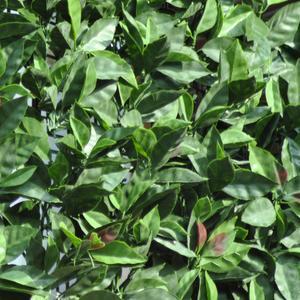 Divy 3D Plus Photinia Siepe sintetica a rotolo su rete in plastica con foglie di photinia