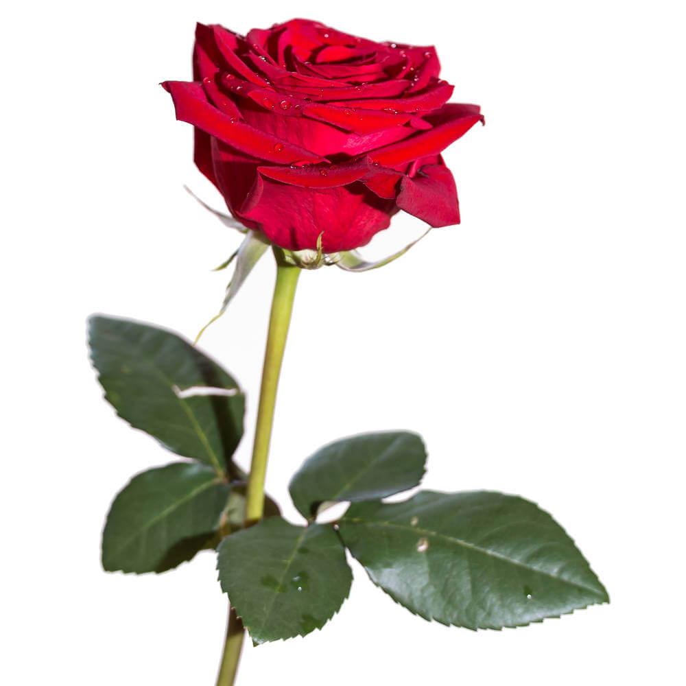 färg på ros begravning