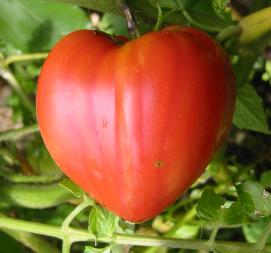 La tomate authentique et généreuse