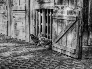 Chickens 2808952 1920