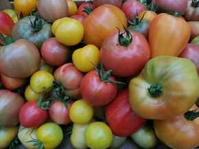 DES TOMATES POUR TOUS ! : Au Jardin de la Grelinette, la tomate est un fruit