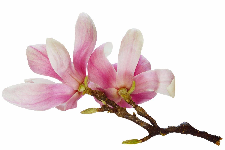 Magnoliawandeling Meise