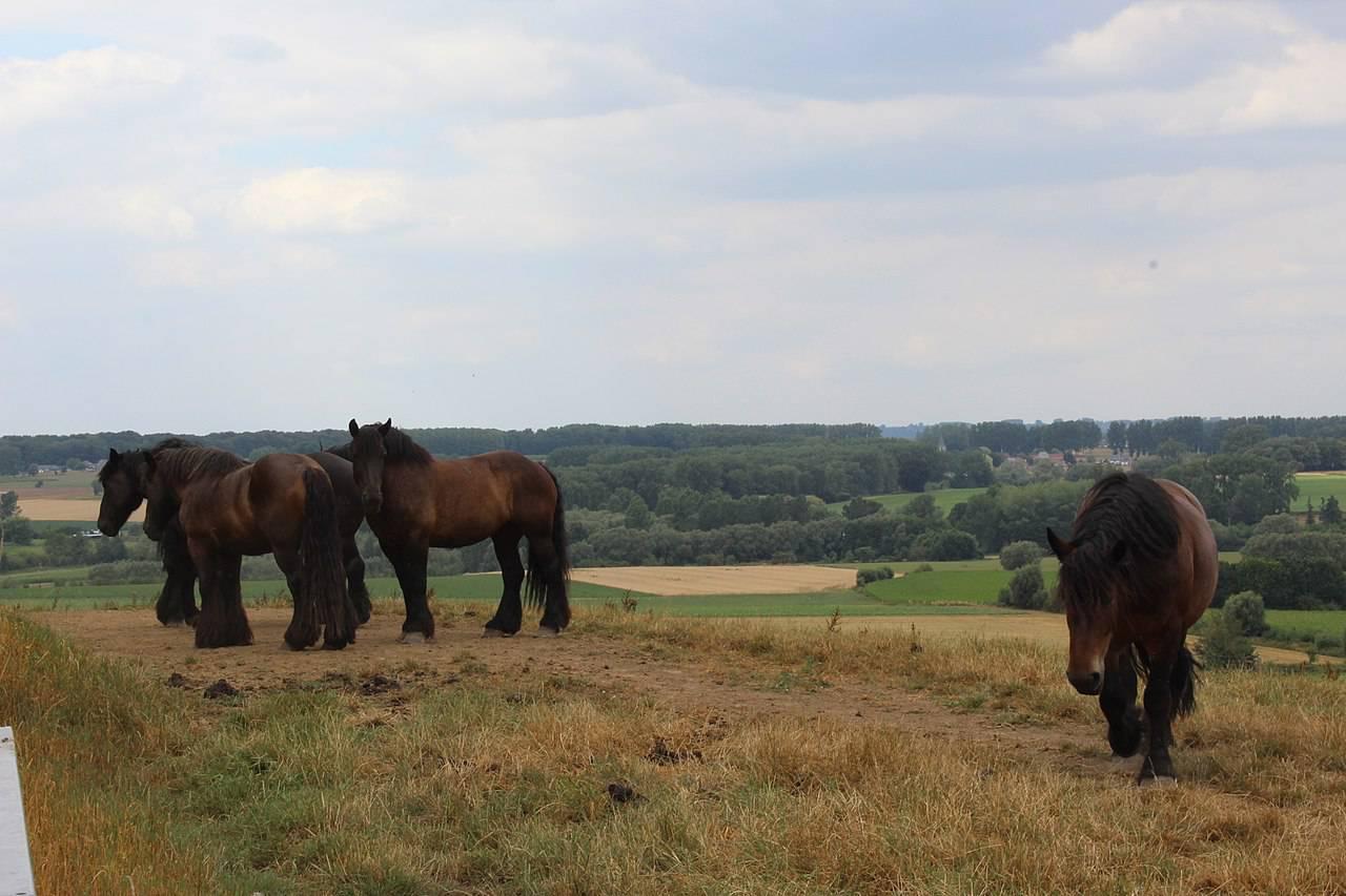 In het spoor van het Brabantse trekpaard