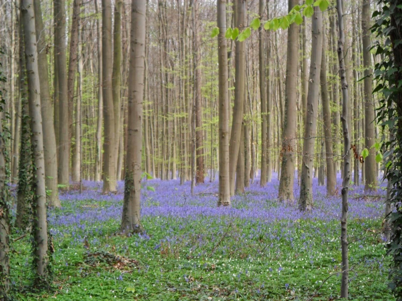 De hyacinten van het Hallerbos.