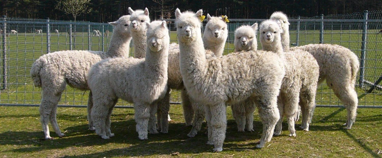 Bezoek aan Alpacaboerderij & Beeldentuin Koperwerk A. Vaesen