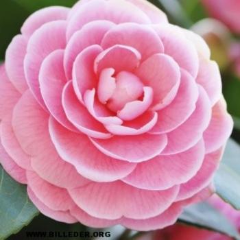 Download billeder af blomster