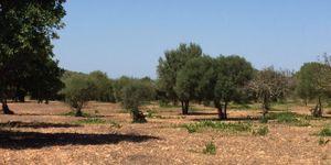 Building plot near Es Carritxo near Felanitx with building permit (Thumbnail 2)