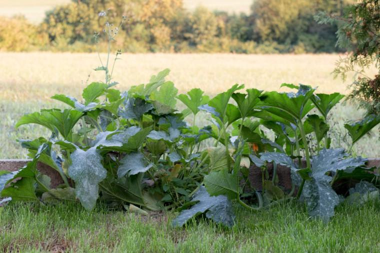zucchinipflanzenmonsterchen