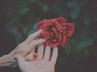 Die Hand einer älteren und die Hand einer jüngeren Frau greifen nach einer Rose und berühren sich dabei