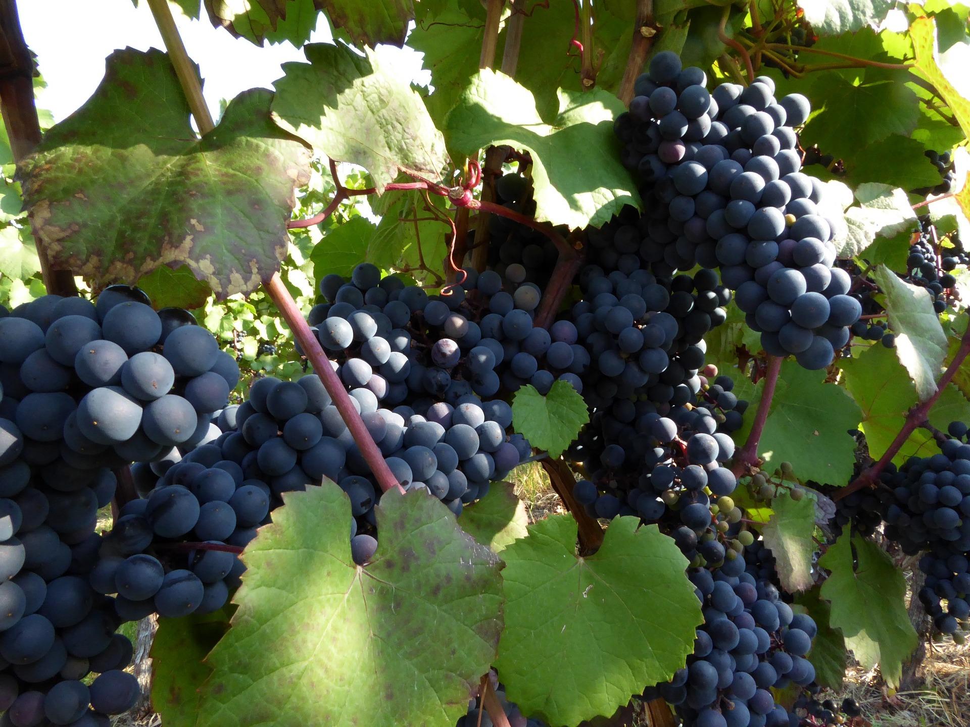 Le uve a bacca rossa: al via la raccolta - cover