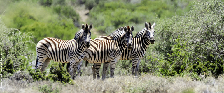 https://s3.eu-central-1.amazonaws.com/gj-test/web/uploads/images/thumbs/1/suedafrika_zebras.jpg