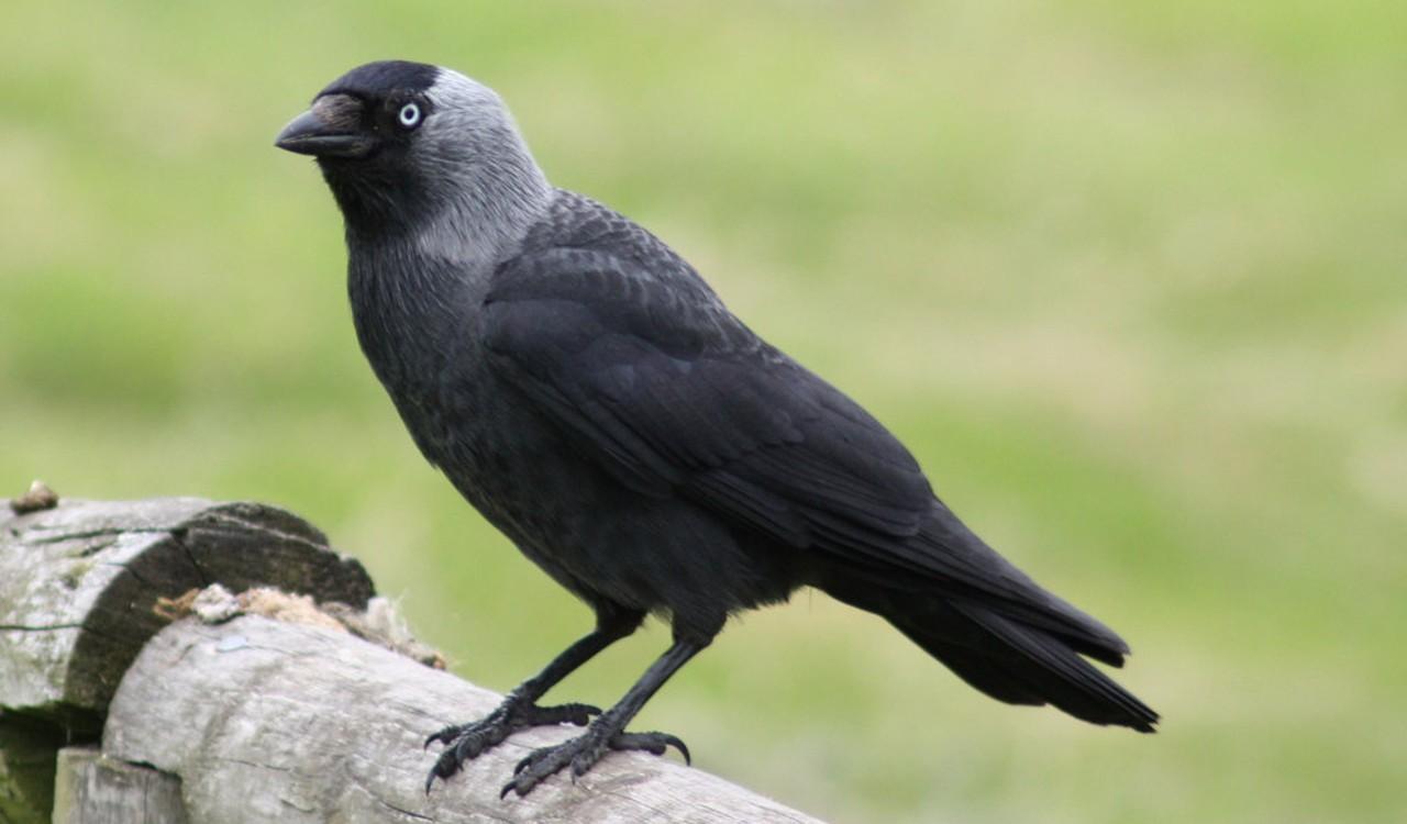 Csóka (Corvus monedula)