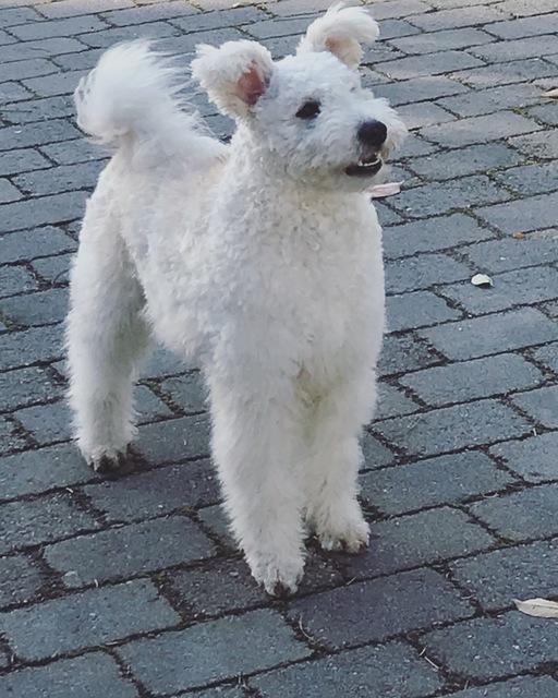bartehund