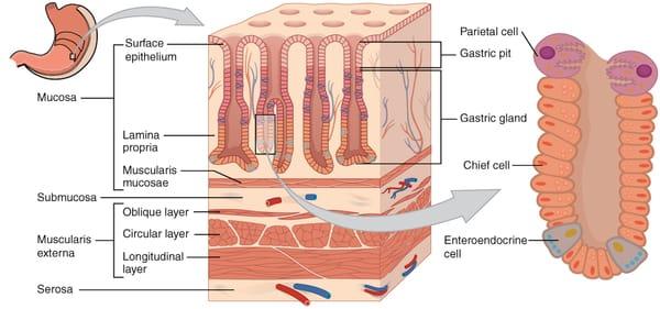 Magsäckshistologi