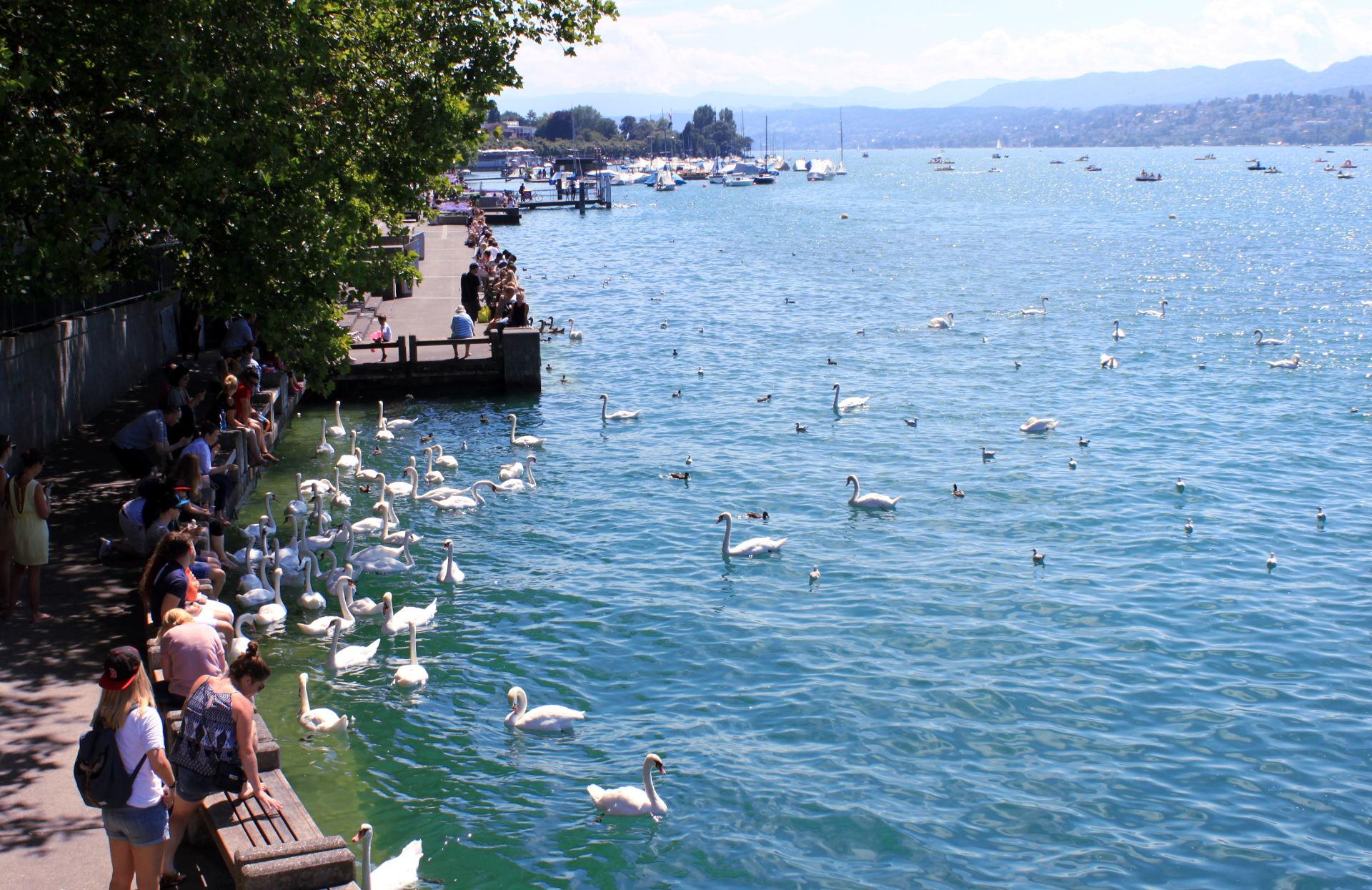 jezioro zuryskie karmienie łabędzi iglawpodrozy