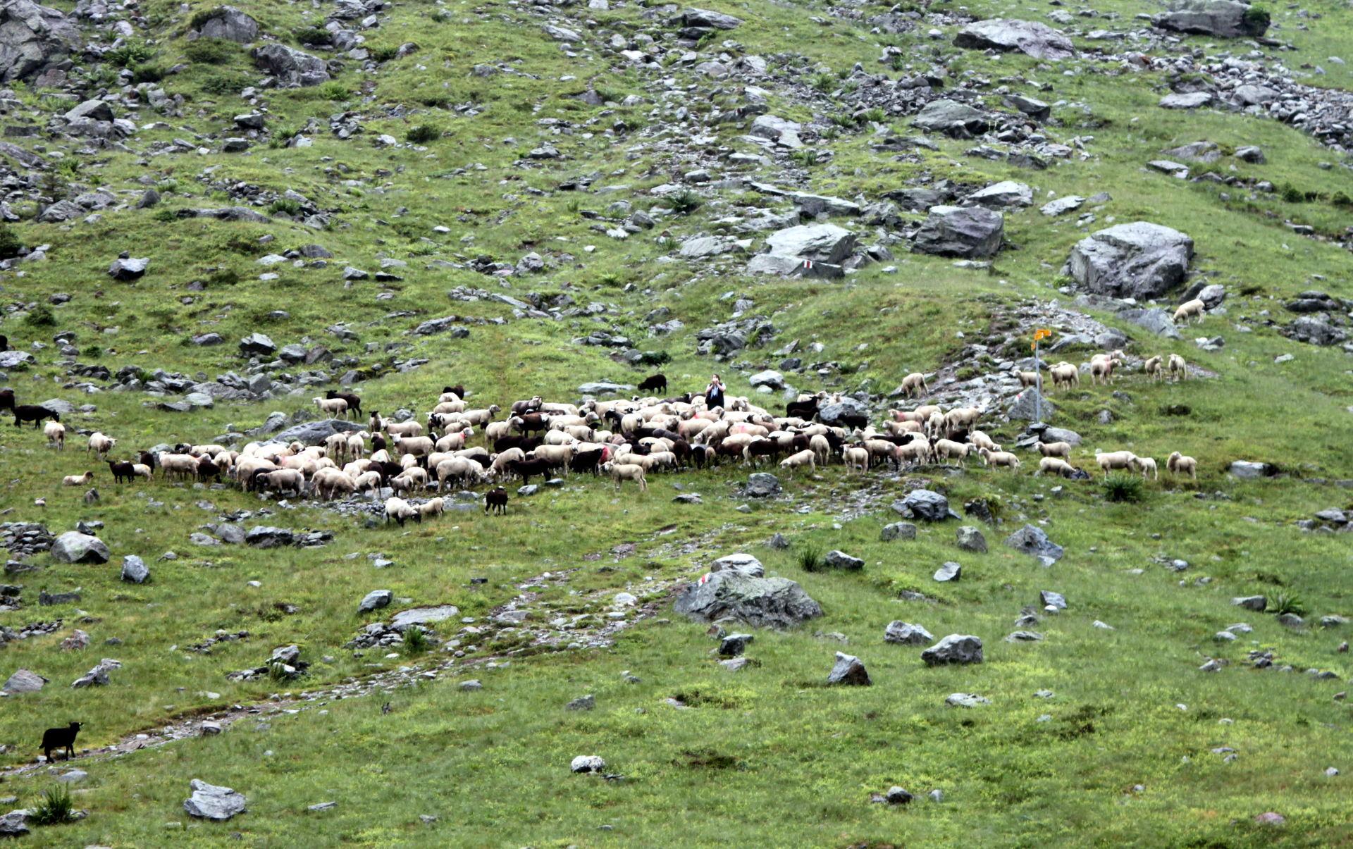 Alpy Szwajcarskie stado owiec iglawpodrozy