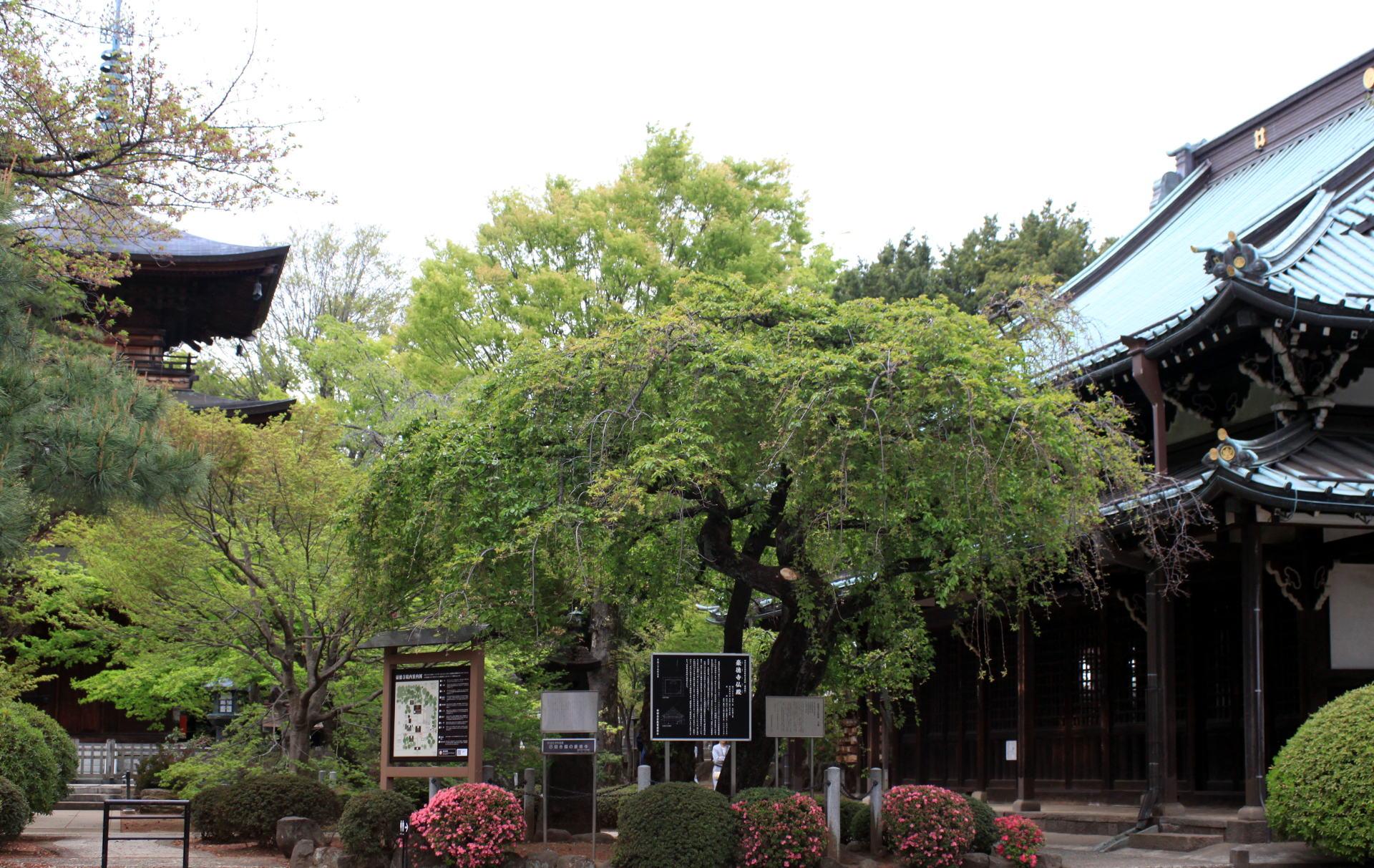 świątynia Gotokuji w Tokio iglawpodrozy