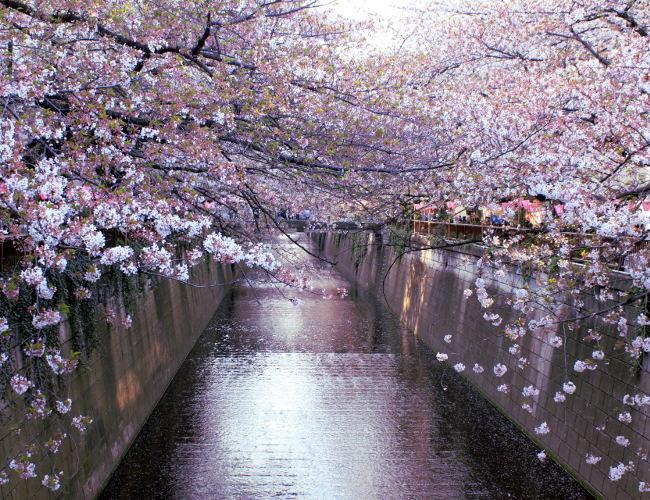 rzeka wisnia kwiaty drzewa wiosna cherryblossom tokio tokyo japonia japan iglawpodrozy wiosna springinjapan hanami sakura