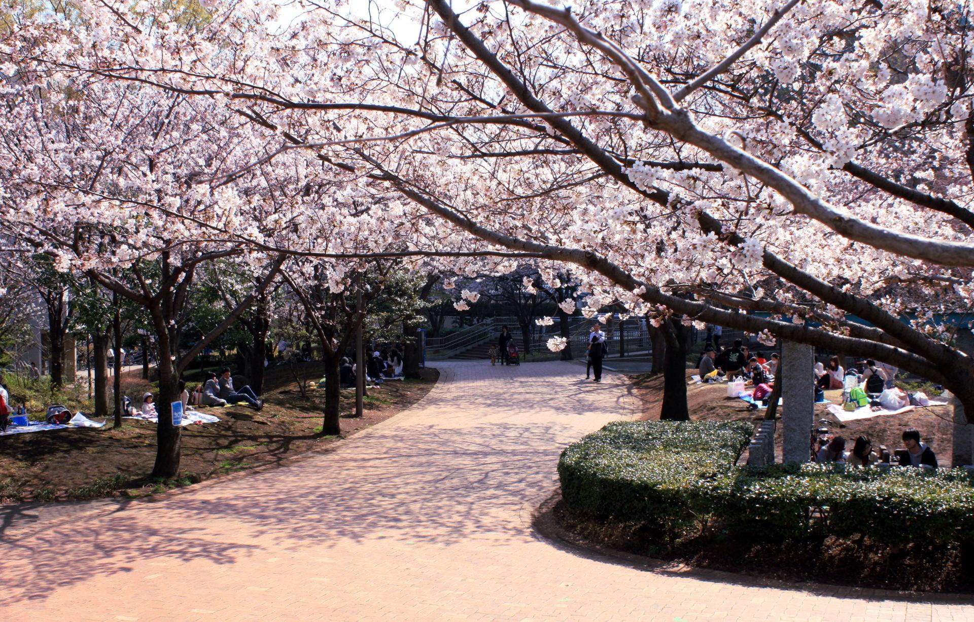 tokio japonia tokyo japan park kwitnacawisnia kwiaty cherryblossom hanami sakura iglawpodrozy