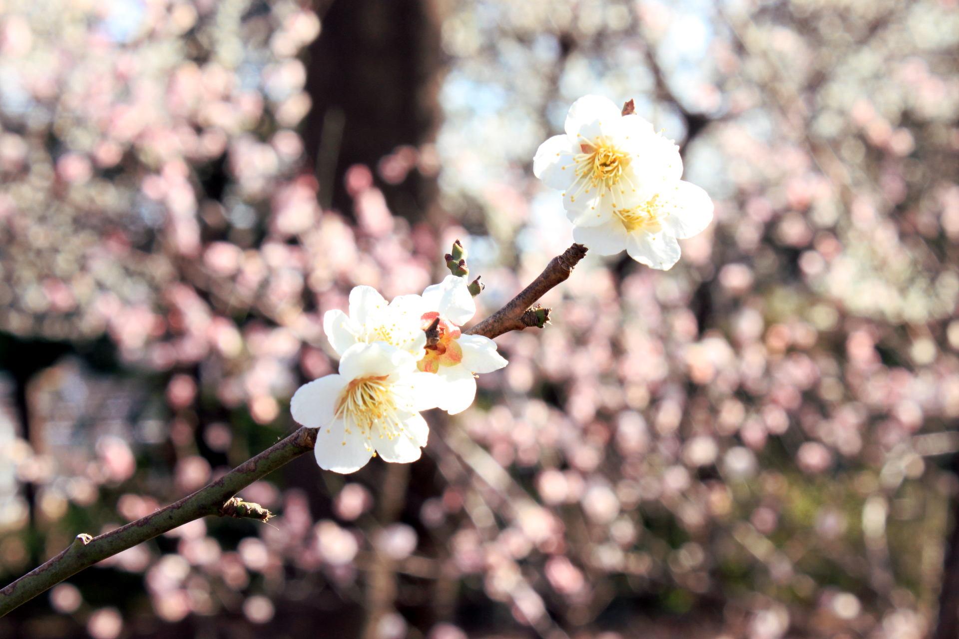 tokio japonia plumblossom kwitnacasliwka tokyo japan park kwitnacawisnia kwiaty cherryblossom hanami sakura springinjapan wiosnawjaponii iglawpodrozy