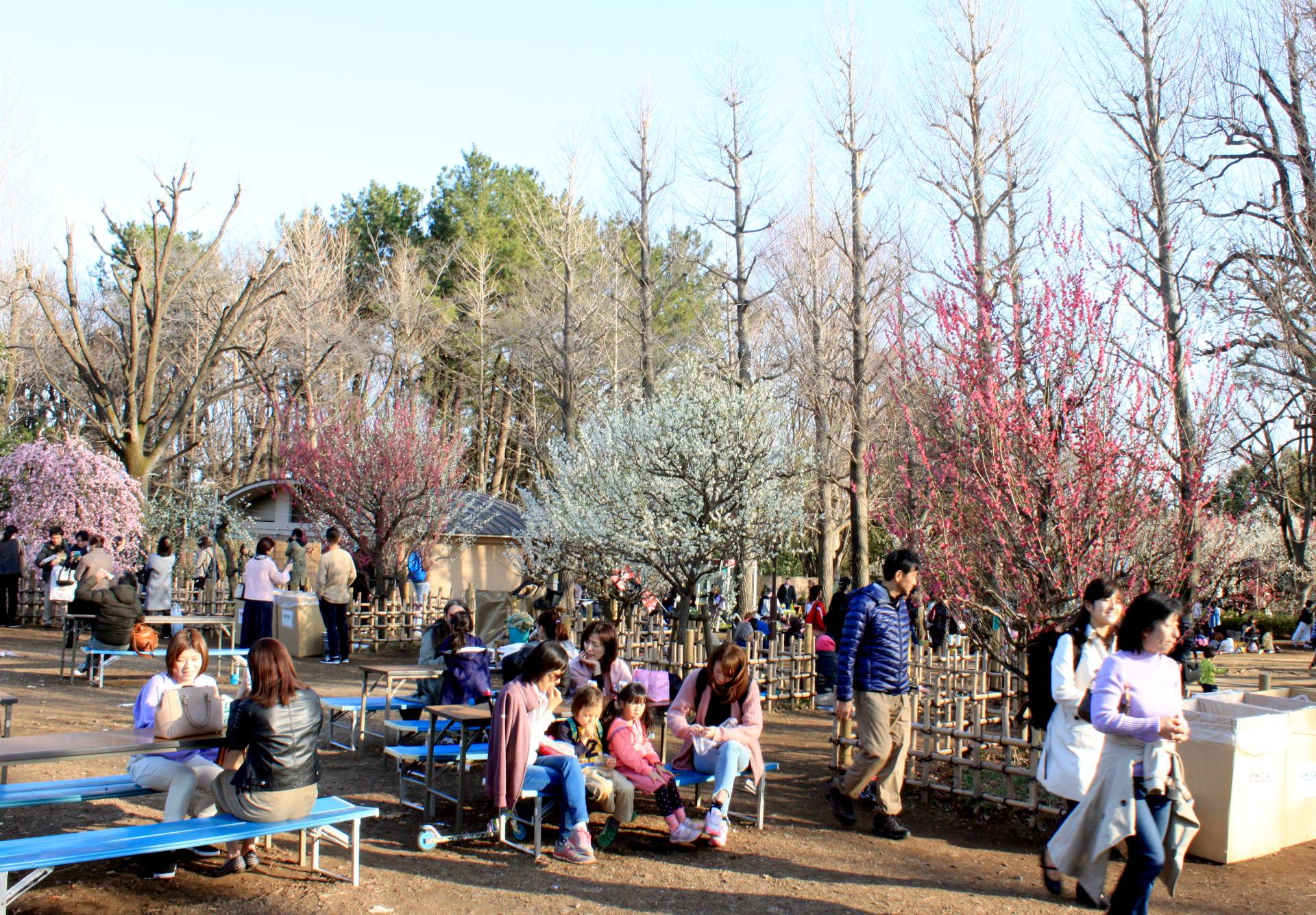 tokio japonia tokyo japan park kwitnacawisnia kwiaty cherryblossom plumblossom kwitnacasliwka hanami sakura springinjapan wiosnawjaponii iglawpodrozy