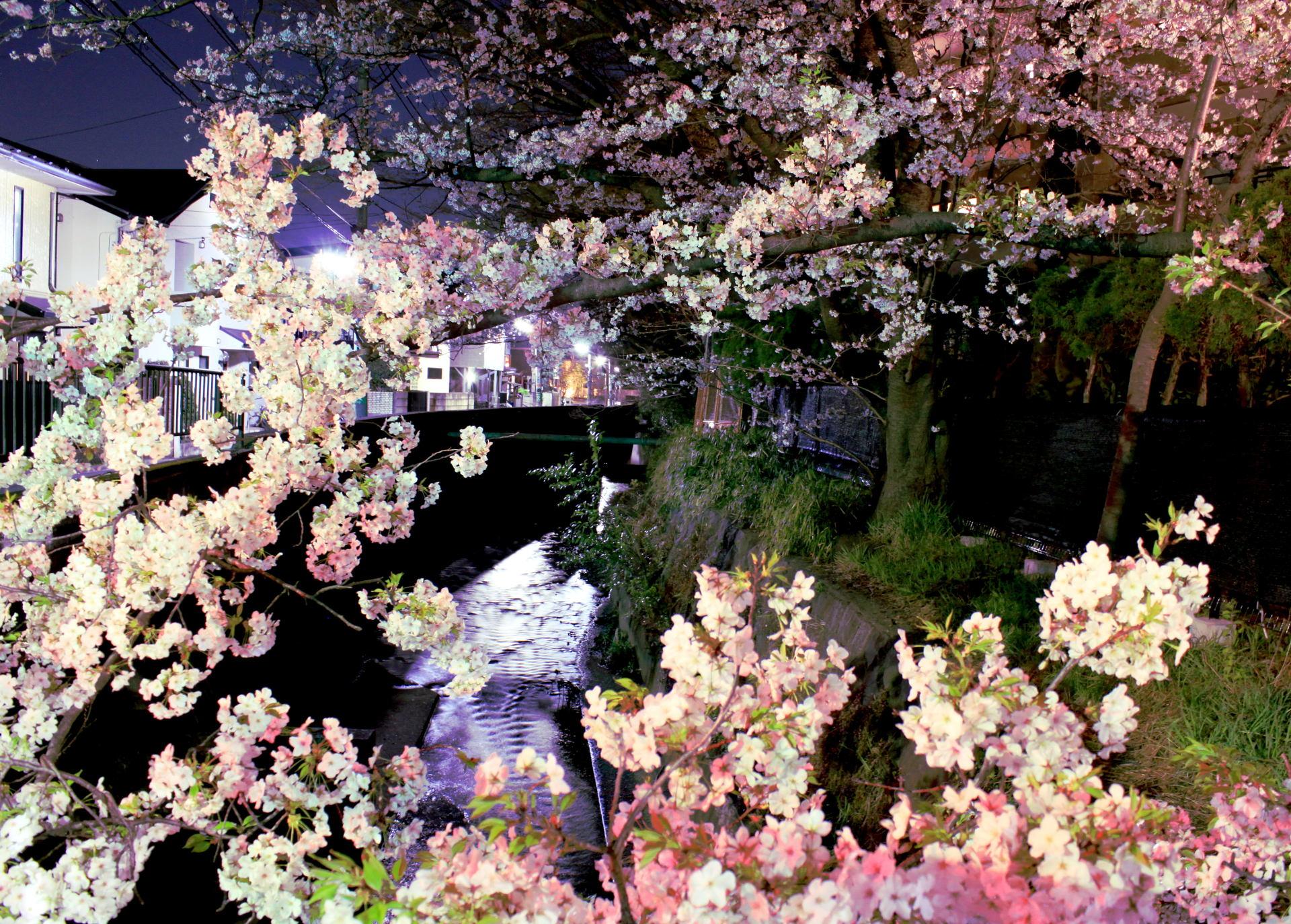 tokio japonia tokyo japan park kwitnacawisnia kwiaty cherryblossom hanami sakura springinjapan wiosnawjaponii iglawpodrozy cherryblossombynight