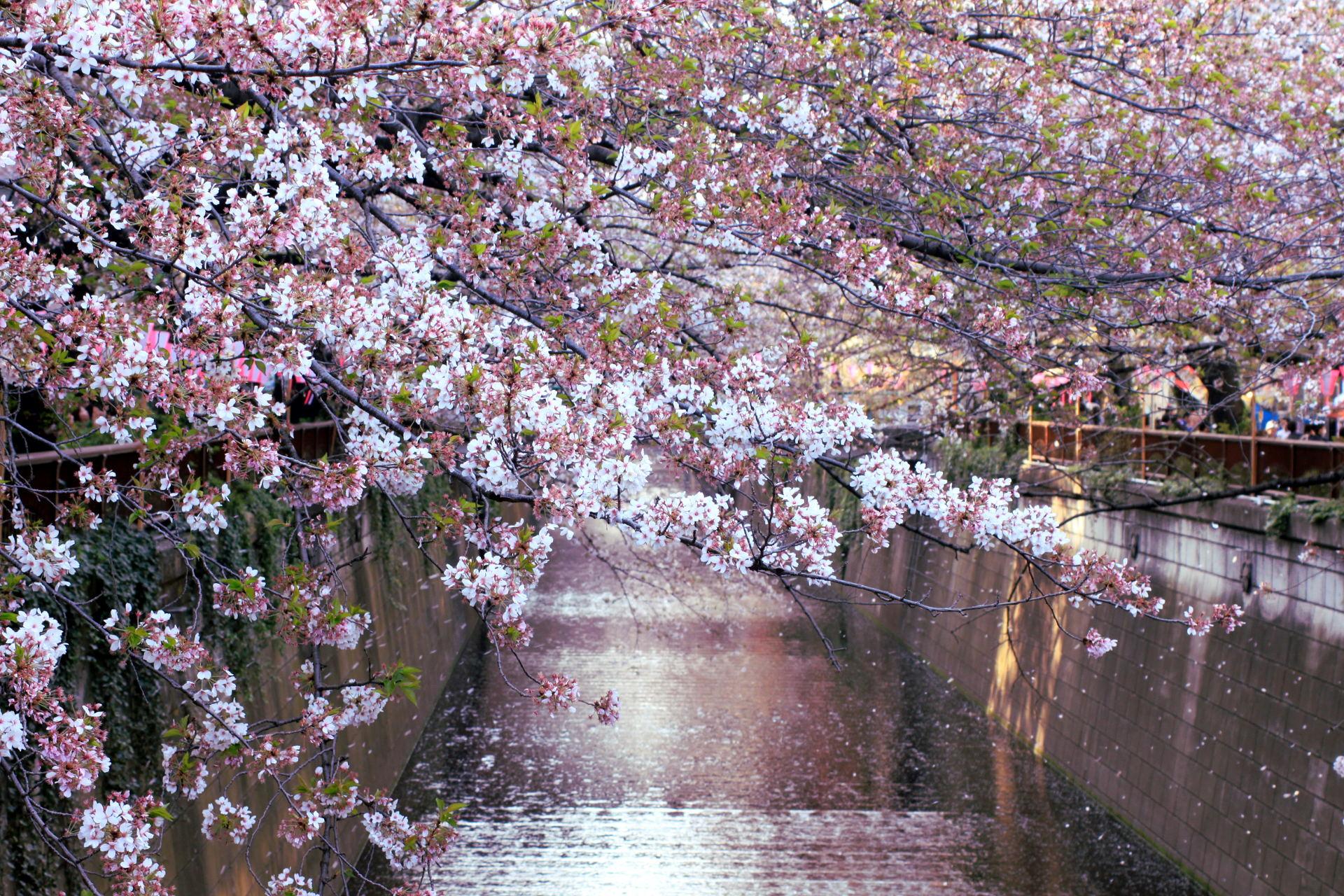 tokio japonia tokyo japan rzeka kwitnacawisnia kwiaty cherryblossom hanami sakura springinjapan wiosna iglawpodrozy