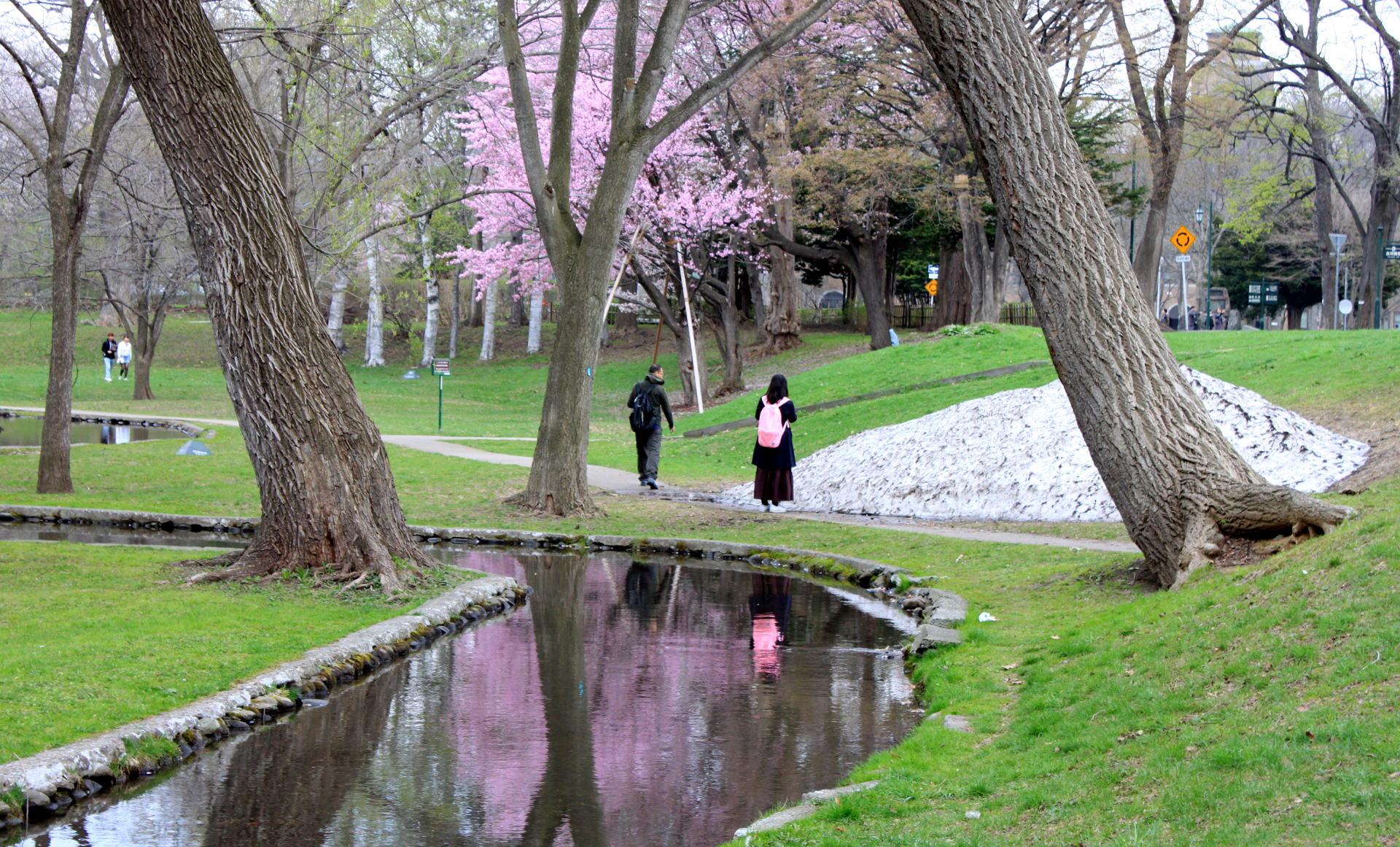 japonia hokkaido park snieg w maju kwitnaca wisnia iglawpodrozy
