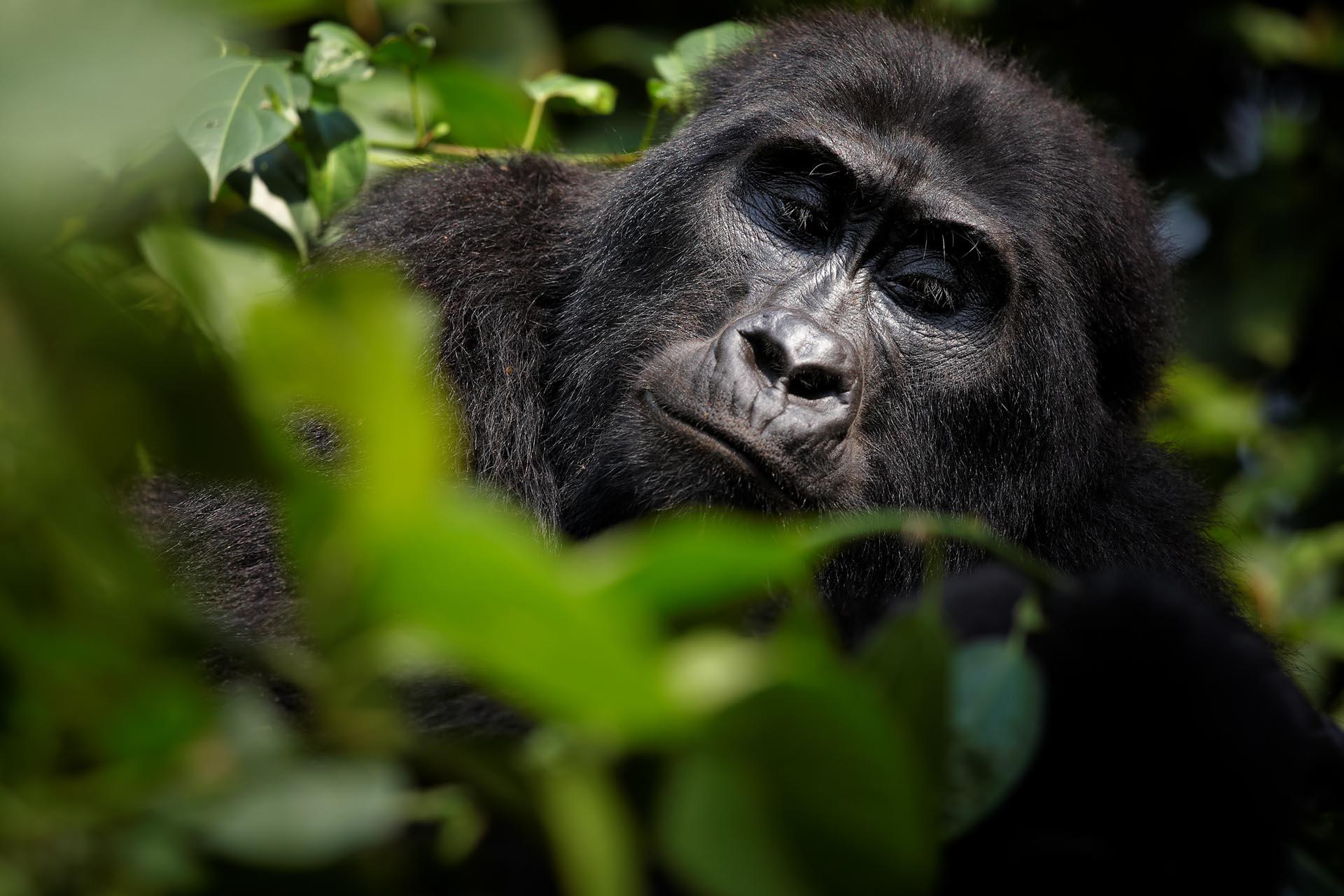 A osluz uganda y ruanda gorilas en la niebla for Gorilas en la niebla