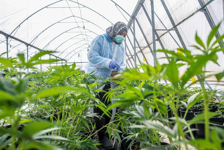 Закон и выращивание конопли марихуана и конопля что сильнее