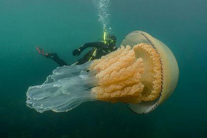 У Великій Британії виявили медузу розміром з людину