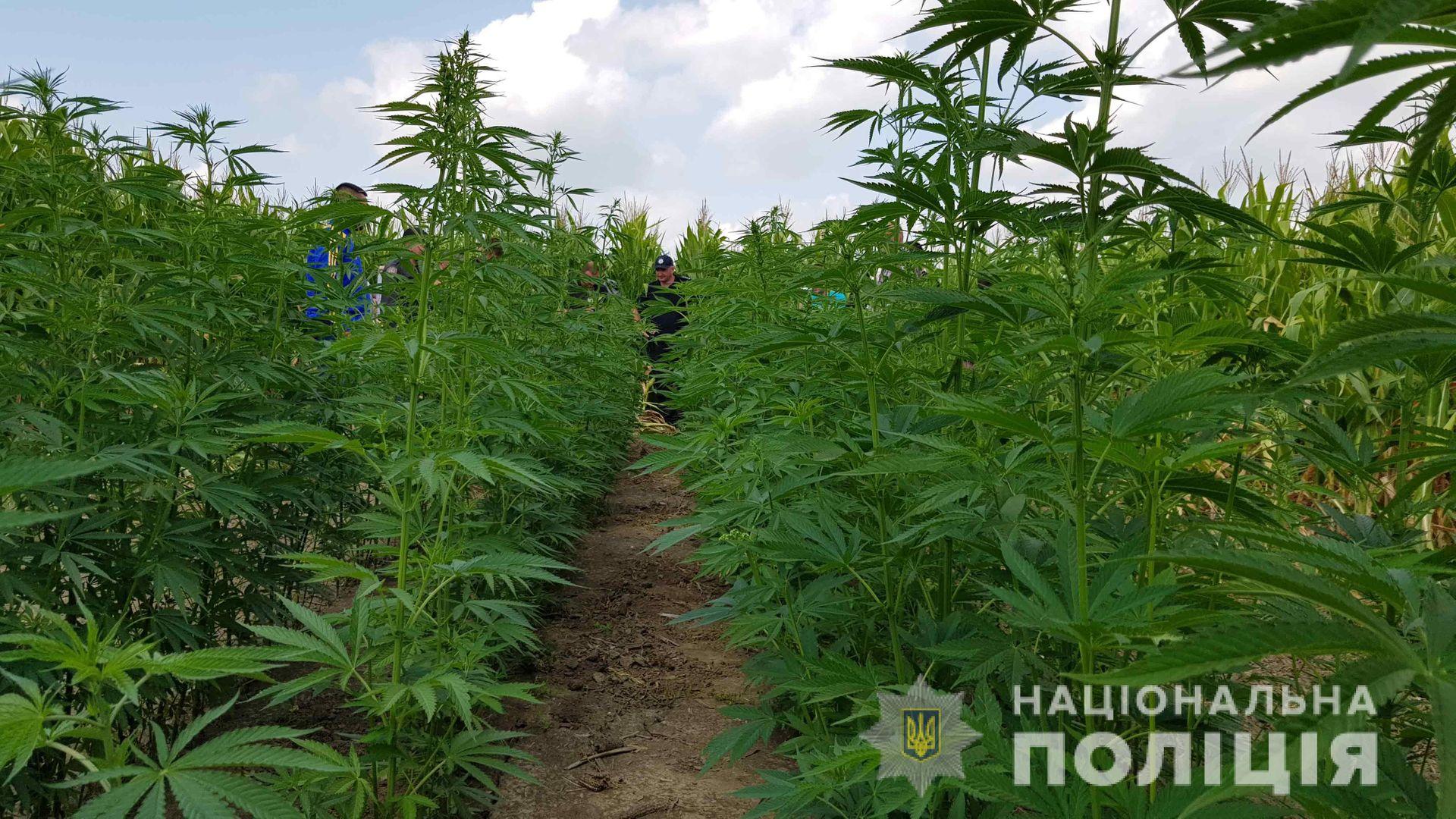 Фотки кусты конопли марихуана купит в екб