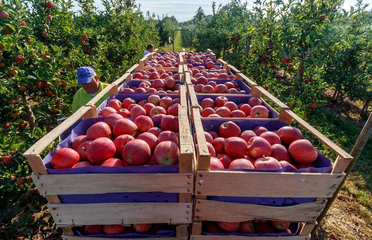 Експерти радять поліпшити методи збору, зберігання врожаю, транспортування та торгівлі (на фото — яблучний сад у Німеччині, 14 серпня 2018 року)