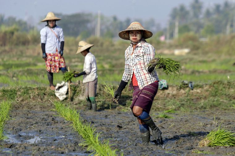 Фермери працюють у рисовому полі неподалік столиці Найп'їдо, М'янма, 21 лютого 2019 року