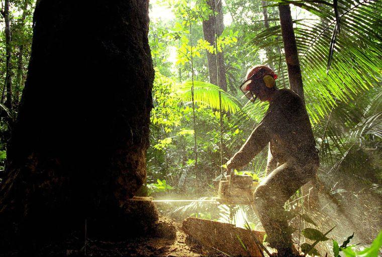 Вирубка лісів в бразильській Амазонії у 2019 року майже на 300 відсотків більша порівняно з минулим роком (на фото — робітник спилює дерево у лісі, Бразилія, 14 серпня 2019 року)