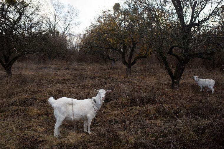 На площі захоронень жертв Голодомору в Дзензелівці нині росте яблуневий сад, а селяни випасають кіз, Черкаська область, 11 листопада 2019 року