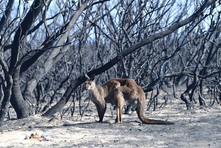 Кенгуру в Национальном парке Флинджера Чейза во время пожаров на острове Кенгуру, Австралия, 7 января 2020 года