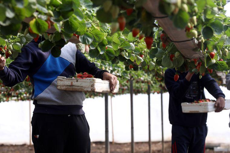 У Фінляндії, куди на роботу роками їздять і українці, зокрема збирати полуницю, обіцяли оплатити чартерні рейси та організувати сезонним працівникам двотижневий карантин після прибуття, але українська влада не дає дозволу