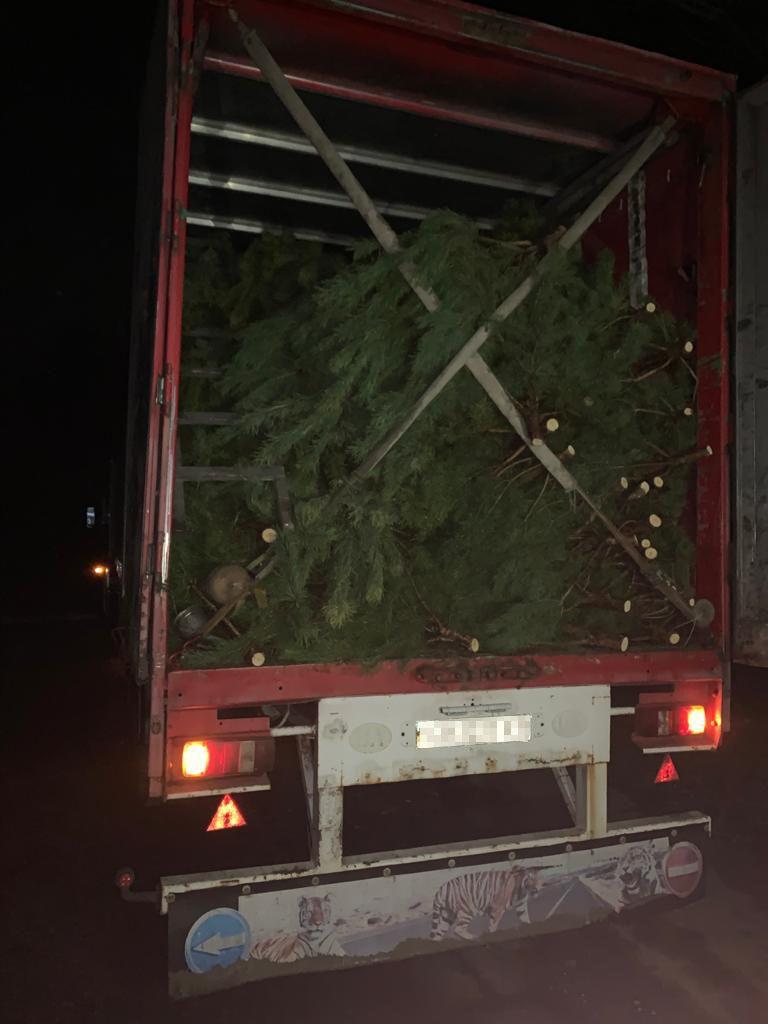 З України намагались нелегально вивезти майже тисячу новорічних дерев