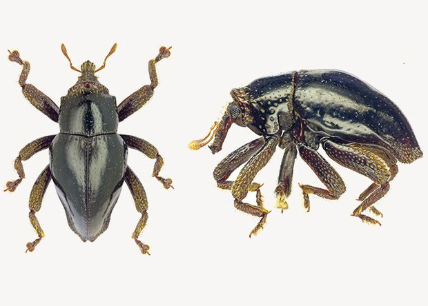 Довгоносик Trigonopterus chewbacca