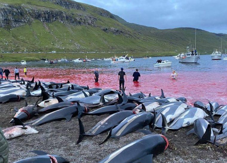 На Фарерських островах мисливці провели традиційне полювання на дельфінів. Убили приблизно 1500 тварин