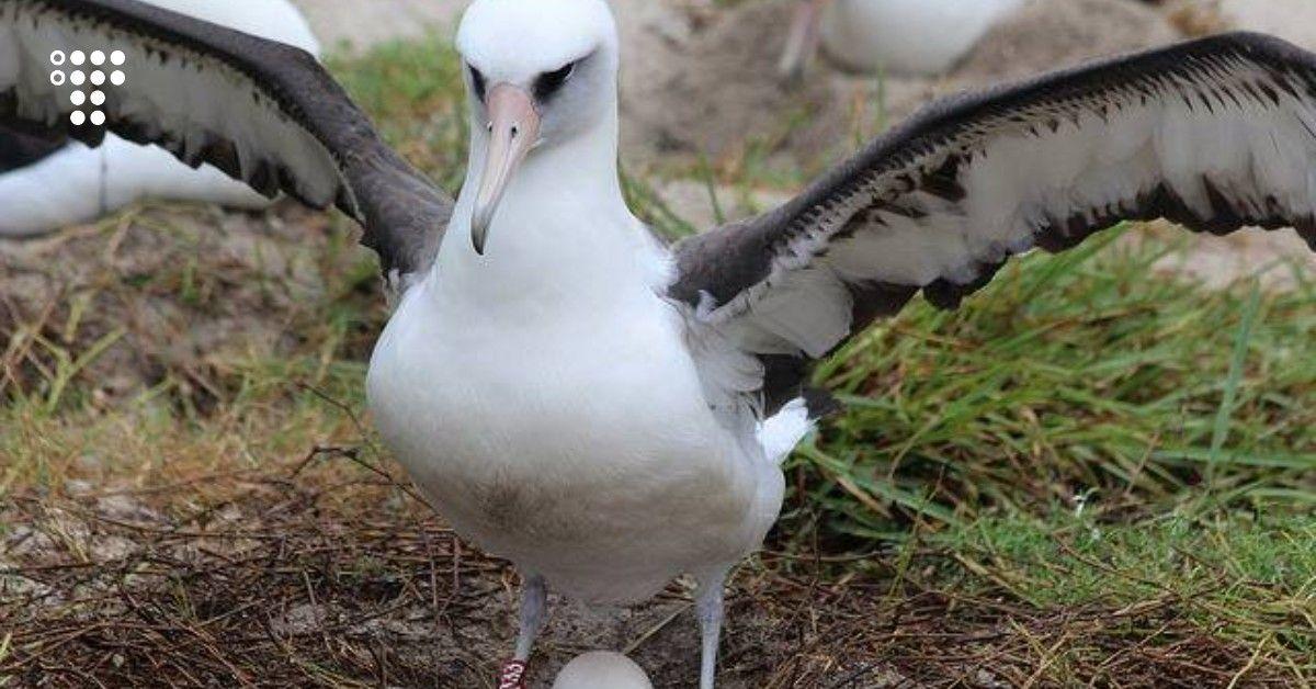 Найстаріша дика птиця у світі знову відклала яйце. Зараз самці приблизно 70 років