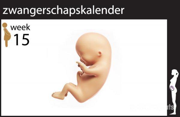zwanger week 15 | 15 weken zwanger | mamaplaats