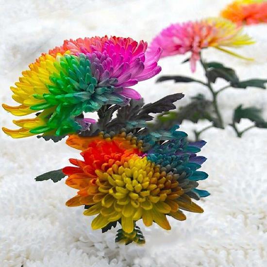 100 шт/мешок радуги радуги хризантемы семена семена довольно редкое, многоцветный удачные семена семена тыква волжская серая