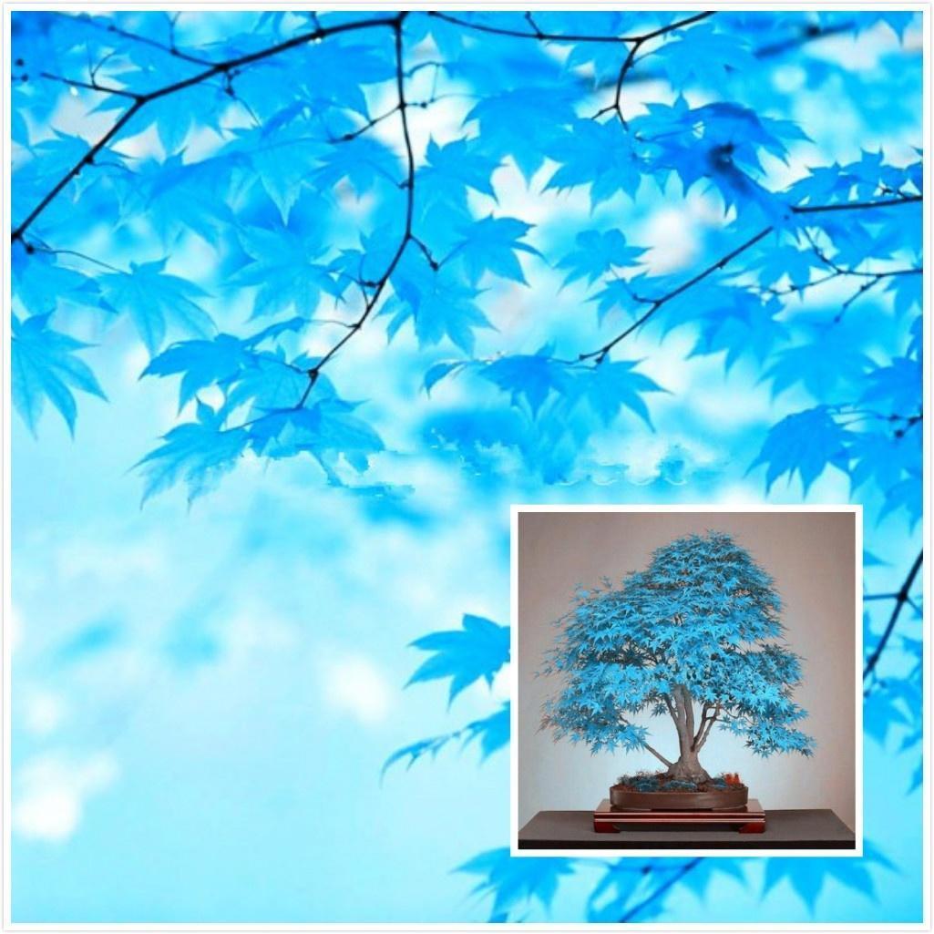 20 бонсай синий семена деревьев бонсай Клен дерево семена. Редкие небесно-голубой японский клен с... удачные семена семена тыква волжская серая