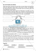 Art und Funktion der Zähne: Arbeitsblatt mit Übungen Preview 1