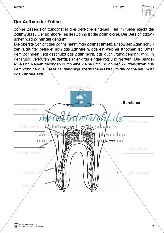 Aufbau der Zähne: Übungen mit Lösungen Preview 0
