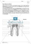 Aufbau der Zähne: Übungen mit Lösungen Preview 1